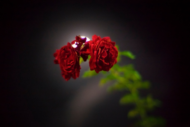 Rose obscuring the Moon 2